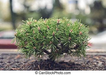ao ar livre, solo, n, árvore, bonsai, jardim, smallpine