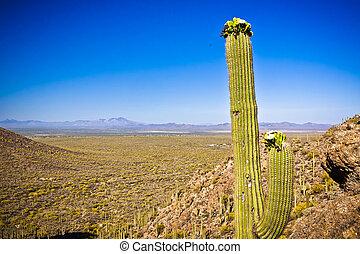 ao redor, parque, nacional, terreno, saguaro, deserto, vegetação