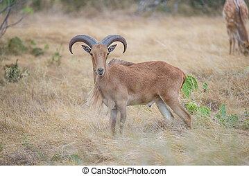 Aoudad Ram Broadside - Aoudad Ram Standing proudly in field...
