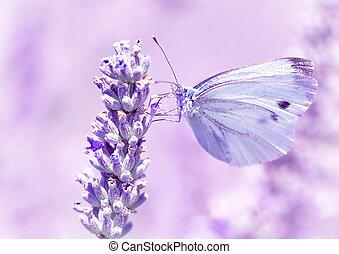 apacible, mariposa, en, flor de la lavanda