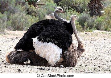apareamiento, aves, avestruz