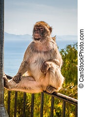 Ape in Gibraltar sitting on the fence. Blue sea on...