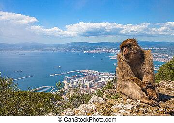 Ape of Gibraltar - A wild macaque or Gibraltar monkey, one...