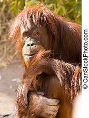 ape peering at spectators