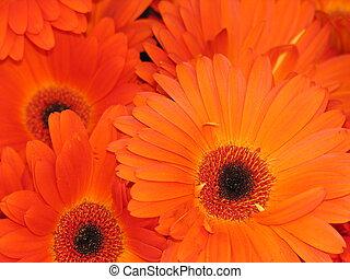 apelsin blommar