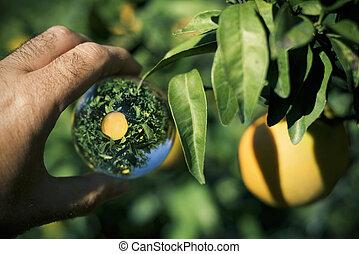 apelsin träd, in, a, kristallkula