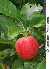 Apfel am Baum - apple on tree 03