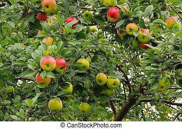 Apfel am Baum - apple on tree 103
