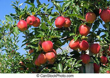 Apfel am Baum - apple on tree 33