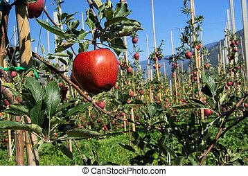 Apfel am Baum - apple on tree 53