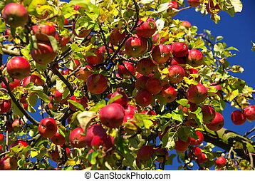 Apfel - apple 08
