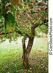 apfel, bäume, obstgarten