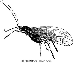 Aphid and its larvae, vintage engraved illustration. Natural History of Animals, 1880.