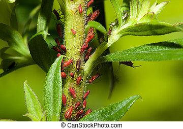 aphids, på, en, hals