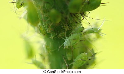 Aphids parasite on a plant. Video FullHD 1080p