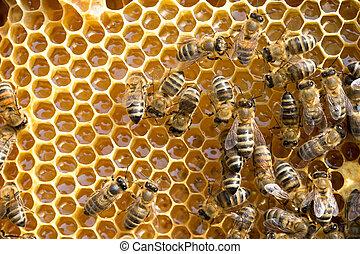 api, honeycells