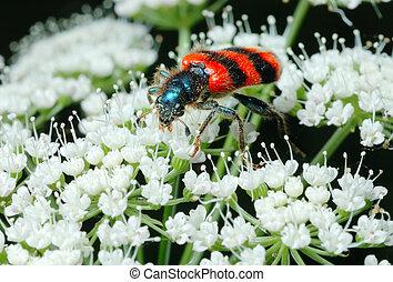 apiarius)., luminoso, abelha, (trichodes, besouro