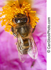 (apis, européen, abeille, mellifera), miel