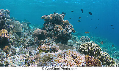 Coral reef in Philippines with plenty fish. Healthy, colorful corals and great visibility. Apo Reef is between Mindoro and Busuanga.
