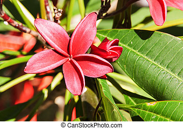 Apocynaceae red flower - Red Plumeria on the plumeria tree,...