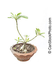Apocynaceae tree 2 - Apocynaceae tree as white isolate...