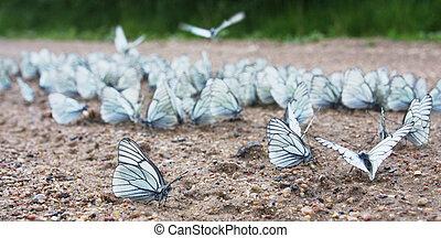 Aporia crataegi swarm - a big group of Black-veined White ...