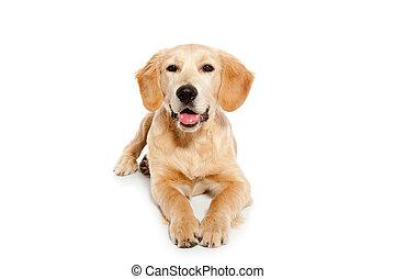 aporter złotego, pies, szczeniak, odizolowany, na białym