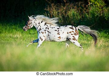 appaloosa, cavalo, executando, em, campo