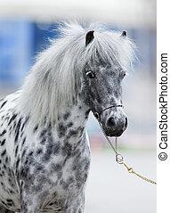 appaloosa, häst, stående