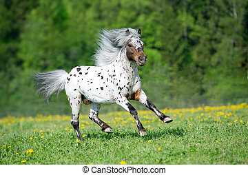 Appaloosa horse runs gallop on the meadow in summer time -...