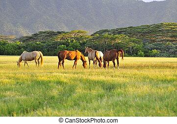 Appaloosa horses in Hawaii farm