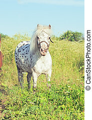 Appaloosa pony in the meadow