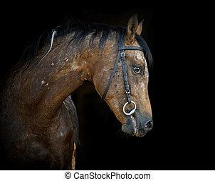 appaloosa stallion on black