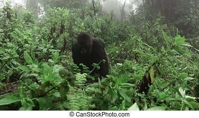 appareil photo, montagne, silverback, approchant, gorille
