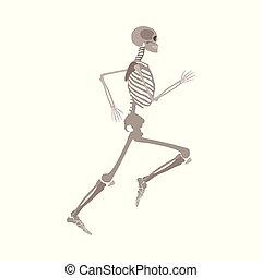 appartamento, scheletro, isolato, fondo., correndo, vettore, bianco, anatomicamente, corretto