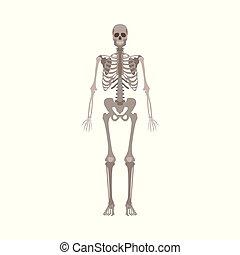 appartamento, scheletro, isolato, illustrazione, fondo., vettore, umano, fronte, bianco, vista