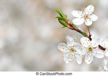 appel bloesem, lente, boompje, vroeg, closeup