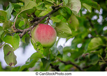appelbomen, fruit, hangend, branch., fruits.