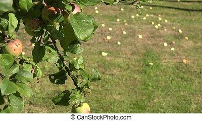 appelboom, takje, met, rood, rijp, vruchten, en, meevaller, appeltjes , leugen, op, weide, grass., brandpunt, change., 4k