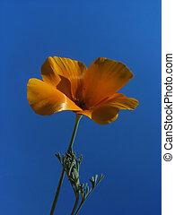 appelsin, blå blomstr, himmel, imod