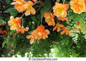 appendere, begonia, fiore