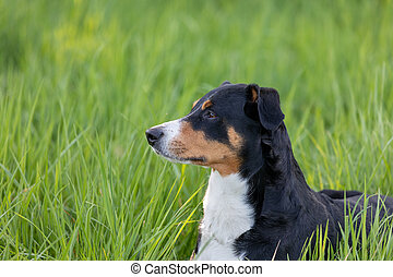 Appenzeller mountain dog sitting in the grass outdoors