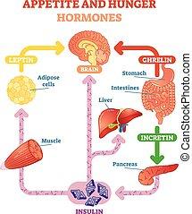 Appetite and hunger hormones vector diagram illustration, graphic educational scheme. Educational medical information.