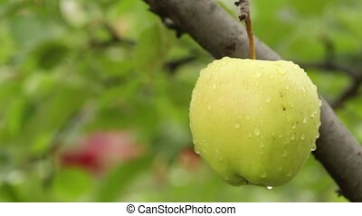 apple among foliage - Young apples ripen on a branch among...