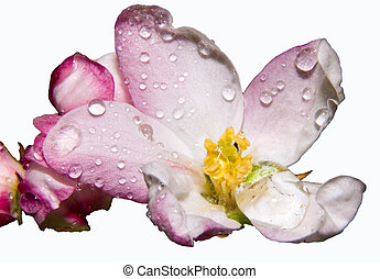 apple blossom - ۜۜapple blosssom on a white background