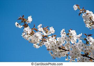 Apple Blossom against a Blue Sky