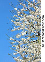 apple blossom against blue sky