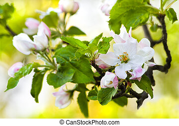Apple blossom and spring light