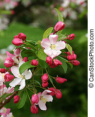 Apple Blossom - Apple Tree Blossom