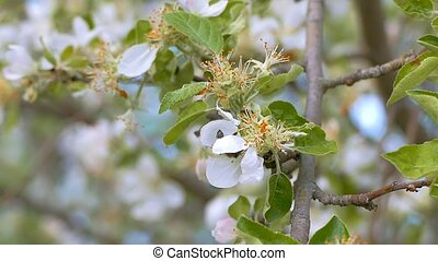 apple blossom bee swarm slow motion video - overcast spring...